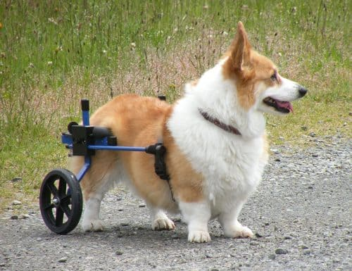 K9 Carts Rear Support Wheelchair