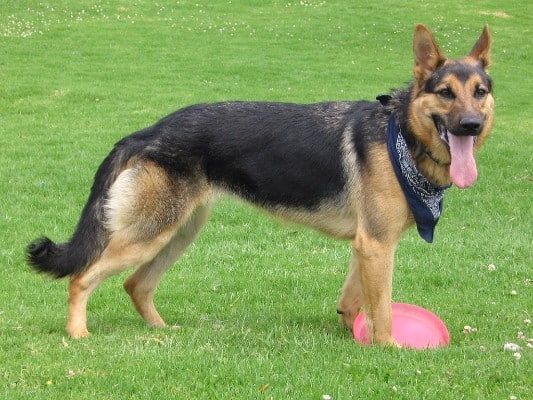 #3 German Shepherd