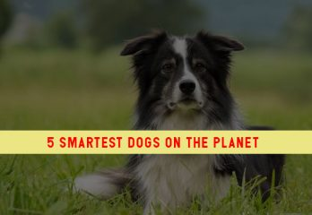 5 Smartest Dogs on The Planet