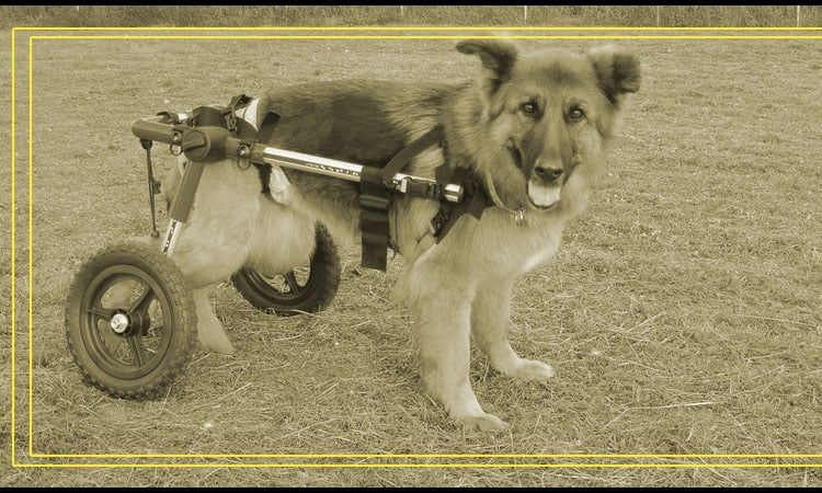 Top 10 Best Dog Wheelchairs In 2021 — Review & Buyer's Guides